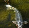 Descanso Gardens Fish (2271)