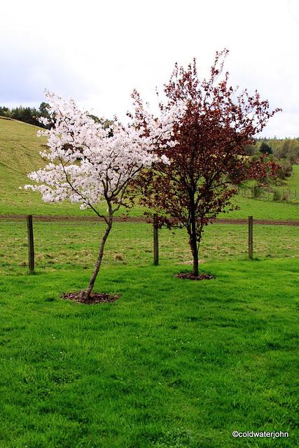 Cherries in bloom in the garden...