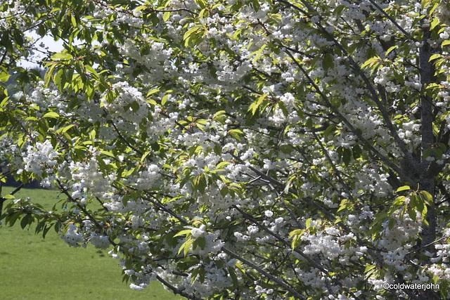 Cherry Blossom by the pond
