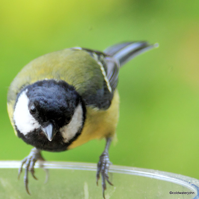 Coaltit looking for mealworms 5818842508 o