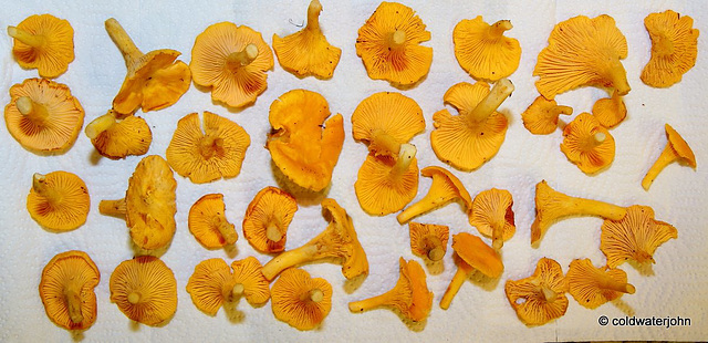 Chanterelles - this morning's breakfast!