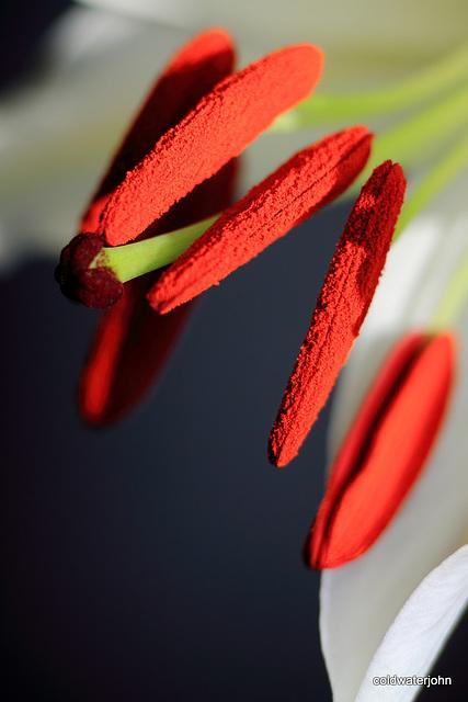 Christmas Lilies - Macro 6559156491 o