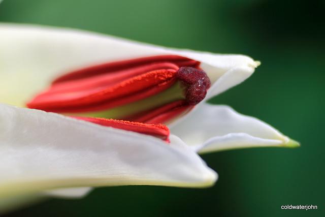 Christmas Lilies - Macro 6559156765 o