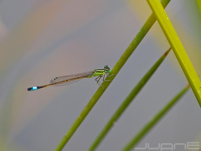 ischnura sahariensis.♂