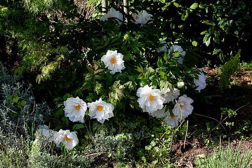 Paeonia suffruticosa (2)