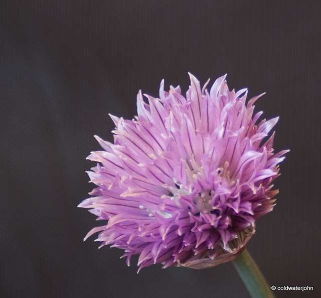 Chive flower, using focus stacking technique