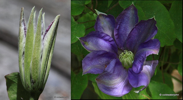 Clematis: The President
