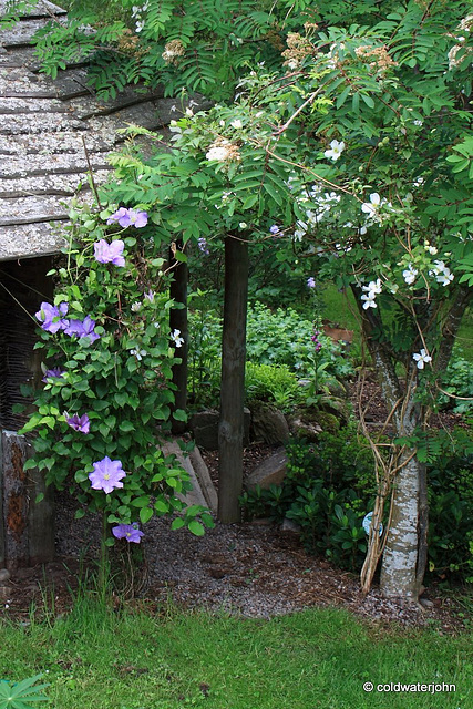 Clematis Arch by Gazebo