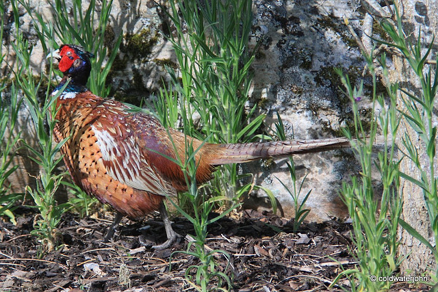 Cock pheasant hiding in the wild flowers bed