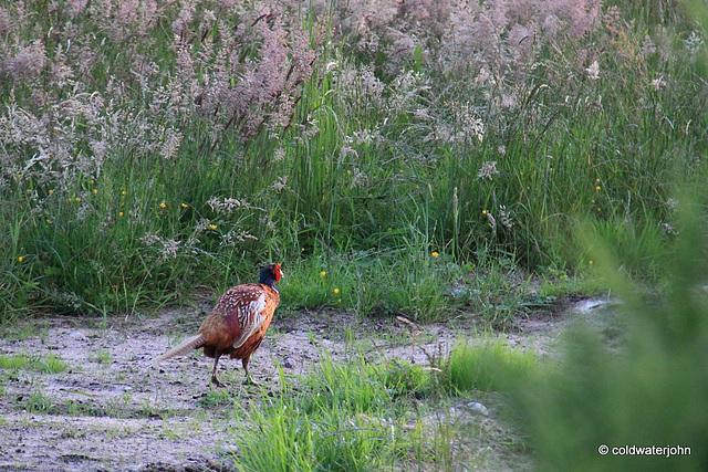 Cock Pheasant's Evening Stroll down a sunlit field edge