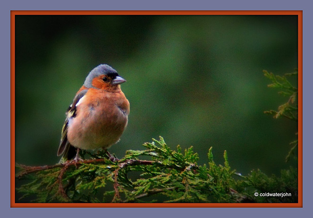 Chaffinch waiting in the breakfast queue