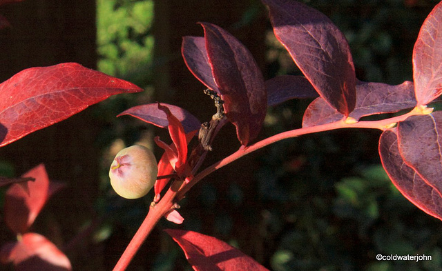 Confused Blueberry in late October