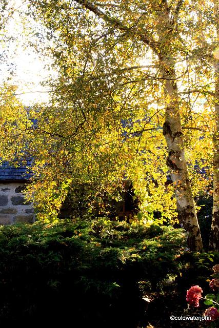 Courtyard Silver birch - autumn colours