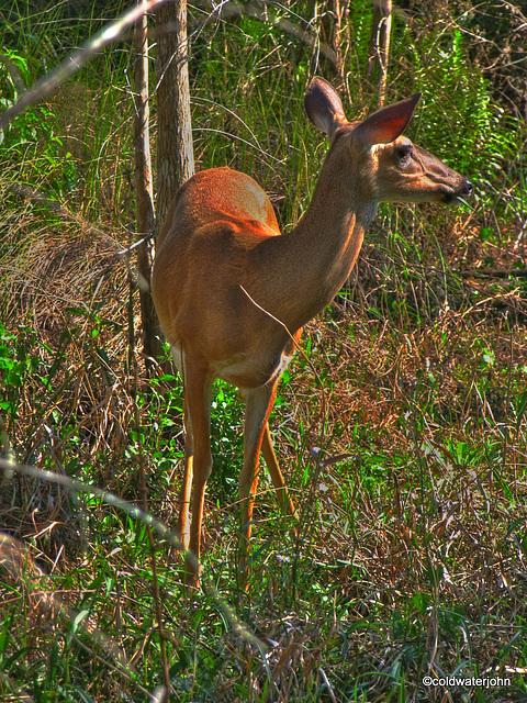 Corkscrew Swamp Audabon Reserve Deer