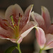 two lilies