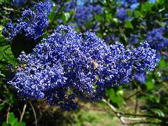 California Lilac (2286)