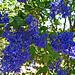 California Lilac (2289)