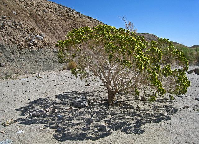 Desert Cedar (2174)