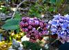 Lilac (2363)
