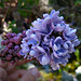 Lilac (2364)