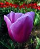 Tulip (2202)