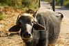 Baksheesh Cow