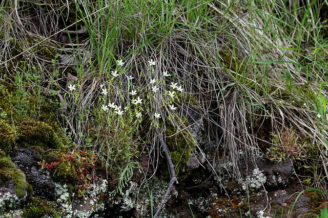 Saxifraga hypnoïdes -fragosoi