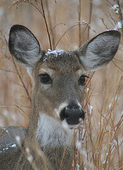 Deer After the Snow