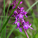 Orchis mascula - Orchis mâle (7)