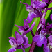 Orchis mascula - Orchis mâle