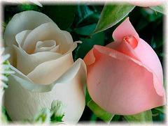 Les Roses de Saadi, poète persan