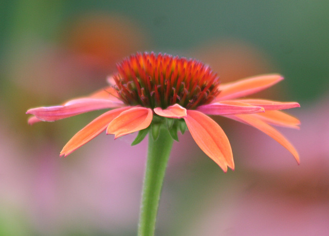 Pink and Red Cone Flower