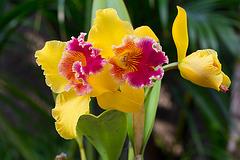 Cattleya du jardin