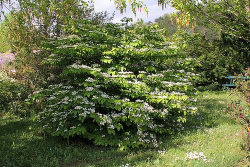 Viburnum plicatum (2)