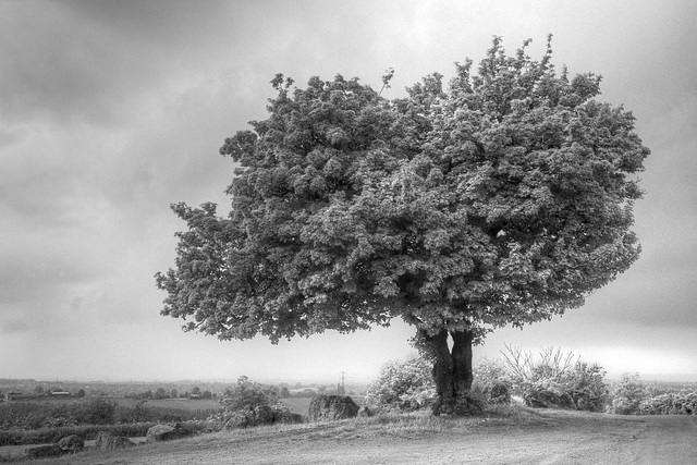 Breedon Tree (pseudo-IR)