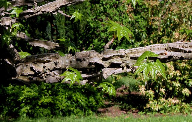 Liquidambar styraciflua - Branches liégeuses typiques