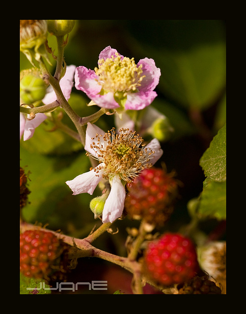 Zarzamora (Rubus ulmifolius)