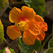 Flor de Capuchina (Tropaeolum majus)