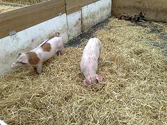 Racing piglets