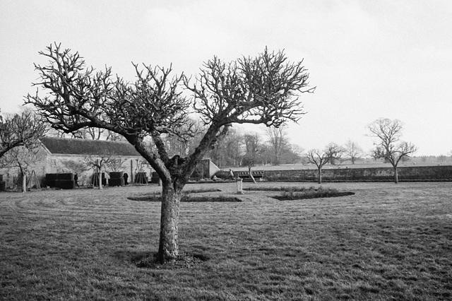 Fruit Tree at Baddesley Clinton House, Warwickshire, February 2013.