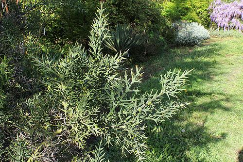 Colletia armata( hystrix)
