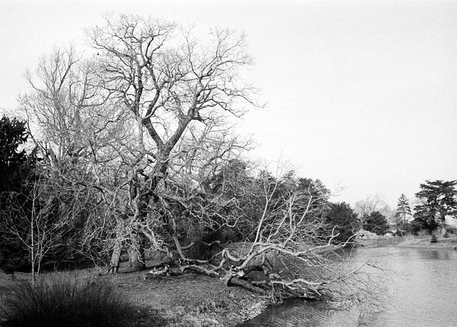 Broken Tree by the Lake at Croome Park