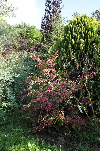 Loropetalum chinense 'Daybreak's Flame'