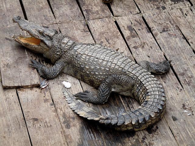Captive Crocodile #2