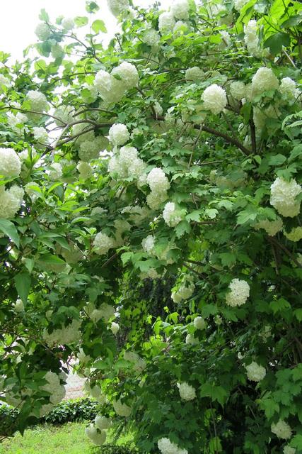 Arbuste  de fleurs blanches