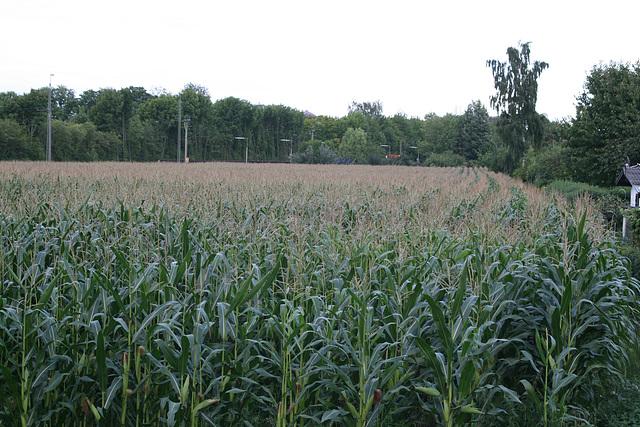 08 cornfield in august