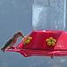 Hummingbird (0364)
