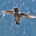 Hummingbird (0367)