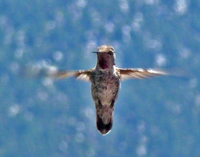 Hummingbird (0368)