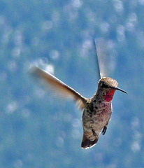 Hummingbird (0369)